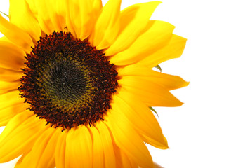 sunflower white background