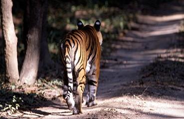 tigre de dos khana