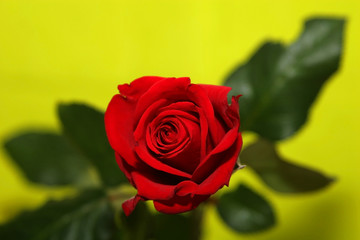romance-rose