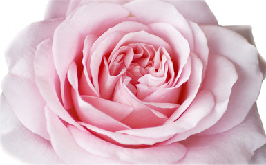 sinnliche rose