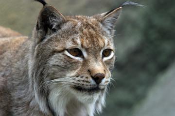 portrait the lynx