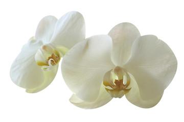 Aluminium Prints Magnolia orchidée
