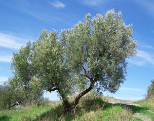 Olive trees over blue sky