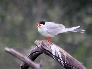 one good tern #5