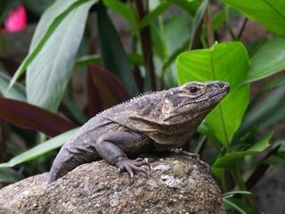 black iguana, ctenosaur