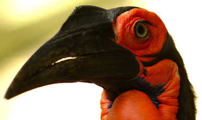 ground hornbill (bucorvus leadbeateri)