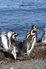 pinguins de magellan au chili