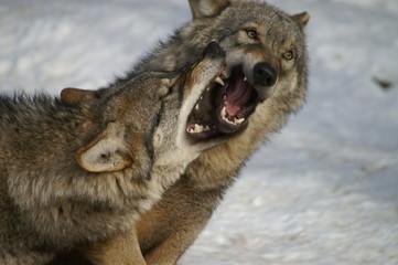 Photo sur Plexiglas Loup loups