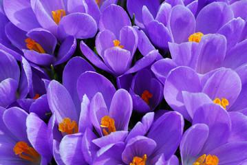 Photo sur Plexiglas Crocus purple crocus