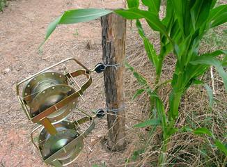 corn,maize