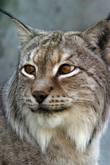 portrait of a lynx - 4