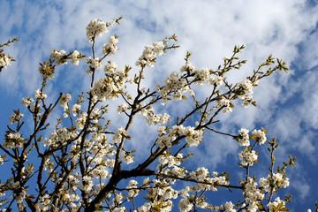 cerisier en fleurs 3