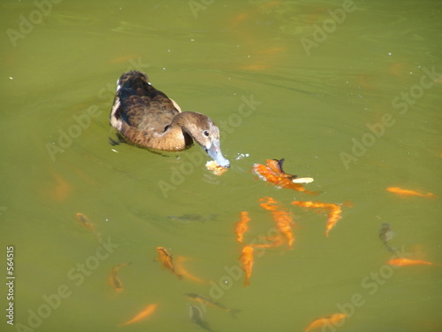 Canard et poisson rouge photo libre de droits sur la for Tarif poisson rouge