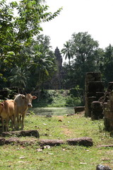 two cows at the rolous temple