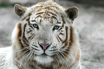 Photo sur Aluminium Tigre tigre blanc b