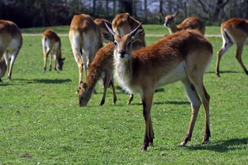 antilope d'afrique