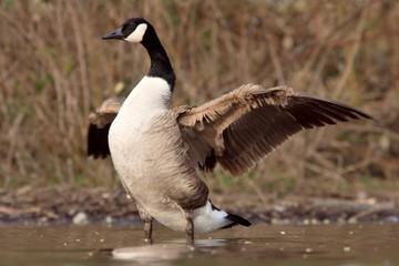 kanadagans mit gespreizten flügeln