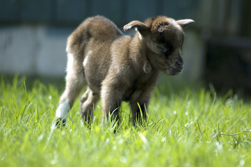 baby goat enjoying the sun