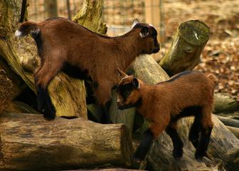 goats on wood pile