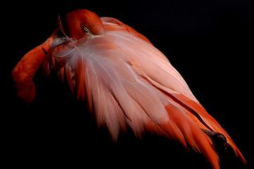 bird - flamingo (phoenicopterus roseus ruber)