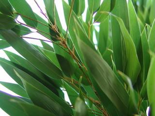 black bamboo leaves