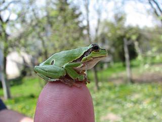 little green frog on the finger