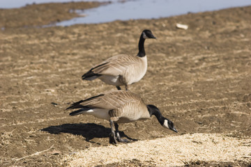 feed the wild bird during migration - watch it clo