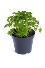 plant de persil