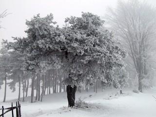 Obraz sosna zimą! - fototapety do salonu