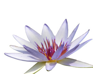 isolated purple water lily