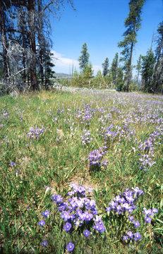 yellowstoen meadow