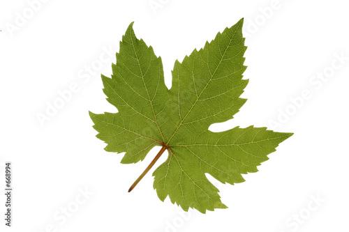 Feuille de vigne photo libre de droits sur la banque d 39 images image 668994 - Feuille de vigne dessin ...