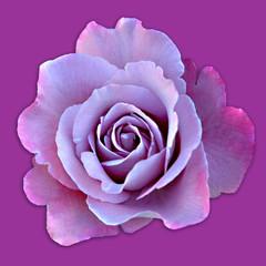 rose ton in ton