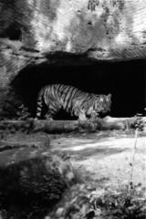 tiere-tiger