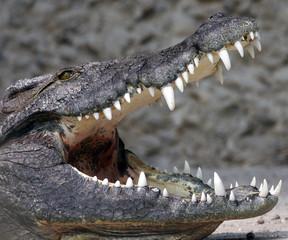 Poster Crocodile abkühlen