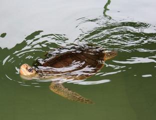 hornbill turtle