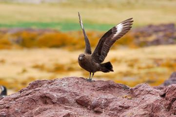 skua antarctic chilean  catharacta maccormicki