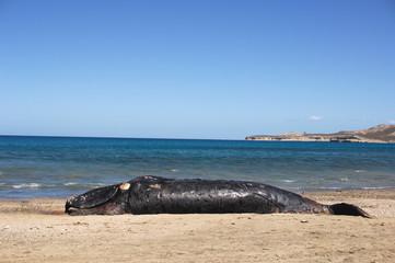 baleine morte echouer