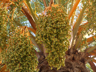 datteln in der palme