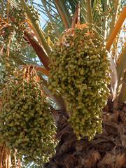 dattelfrüchte an einer palme