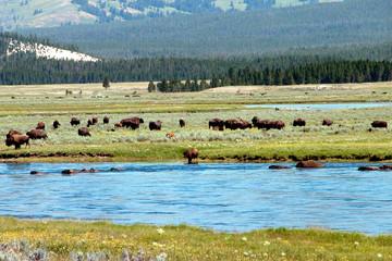 yellowstone buffalos