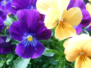 Poster Pansies mixed violas