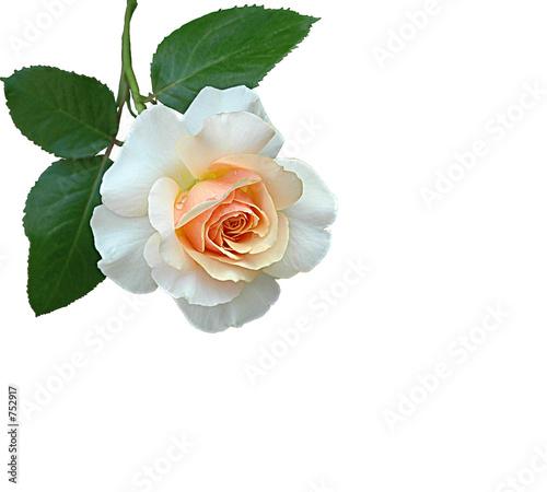 weisse rose ausgeschnitten stockfotos und lizenzfreie bilder auf bild 752917. Black Bedroom Furniture Sets. Home Design Ideas