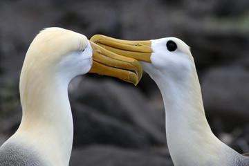 parade nuptiale des albatros des galapagos