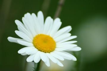 river daisy