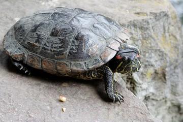 rotwangenschmuckschildkröte