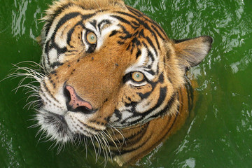 tiger with expressive eyes