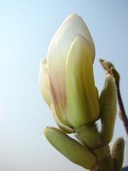 magnolia flower bud