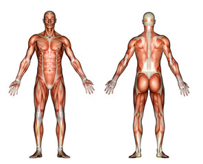 illustration - male anatomy