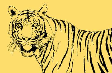 tiger of sumatra